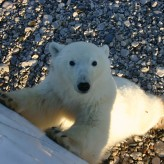 Hunting Polar Bears in Churchill, Canada